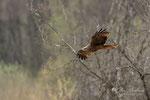Busard des roseaux (Savoie 04-2016 )3