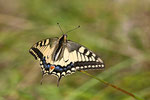 Machaon .