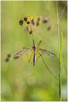 Une Tipule ( Tipula maxima )