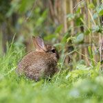 Petit lapin (5_052016M)