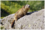 3_Marmotte ( Vanoise )