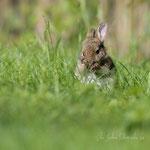 Petit lapin (3_052016M)
