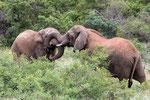 ELEPHANTS (AFS2016)