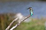 Martin pêcheur (femelle) Savoie 10/2016_b
