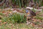 Gorge bleue (Luscinia svecica) SAVOIE 04-2019_2_