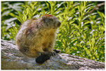 1_Marmotte ( Vanoise )