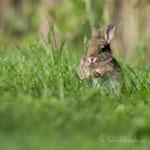Petit lapin (2_052016M)
