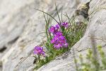 Erine des Alpes ( Erinus Alpinus )
