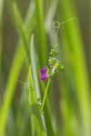 Vesce  ( Vicia sativa )