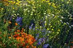 SSC-Munkmarsch_Hottas Deichverschönerung in voller Blüte