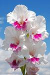 Gladiolus 'Fotosopas'