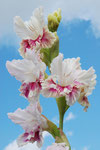 Gladiolus 'ATKLASME'