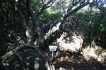 あこうの木の根は岩に絡まって成長している。