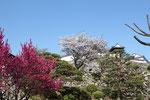 高知城公園の獅子の段(梅の段)から眺めた天守閣