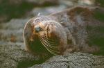 Seebären sehen so friedlich aus...