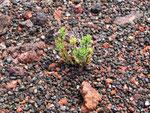 Auch da der Beweis: Lava ist ein sehr fruchtbarer Boden