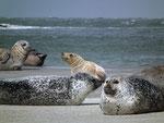 Auch auf der Nordseite der Düneninsel geniessen die Seehunde