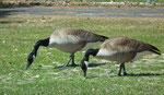 Kanada-Gänse: Werden bis zu 1 Meter hoch und erreichen eine Flügelspannweite von bis zu 1.8 Meter