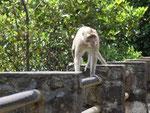 Freilebende Berber-Affen beachten uns kaum