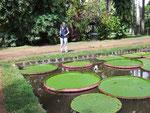 mit den weltgrössten Seerosenblättern die bis über 1 Meter