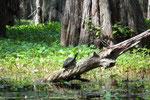 mit vielen einheimischen Tieren und Pflanzen. Swamp Touren auf leise . . .