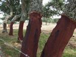Möglichst gerade Stücke von etwa 1 Meter Länge werden abgeschält