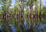 Schöne Spiegelung der Mangrovenbäume im glasklaren Wasser