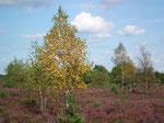 Die Birken im schönen Licht und im Kontrast zum Heidekraut