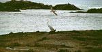 Pelikan und wunderschöner Reiher