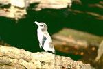 Nochmals ein kleiner Galapagos-Pinguin