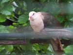 Der «Pink Pigeon» ist das Nationaltier auf Mauritius und stark vom Aussterben bedroht