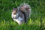 Die amerikanischen Eichhörnchen. Richtiger Name ist Grauhörnchen