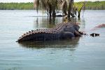 fast nur noch im Süden der USA und werden deshalb auch Mississippi Alligators genannt