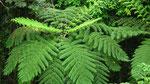 . . . und wunderschöne, riesengrosse grüne Farne