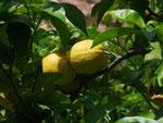 Zitronen, ein umsatzstarker Exportartikel für die mallorquinische Wirtschaft