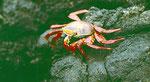 Unsere Krebse und Krabben würden gegen diese Farbenpracht auch die Rosa-Farbe verlieren...