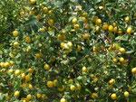 Zitronenbäume am Strassenrand