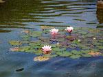 Seerosen im kleinen Teich