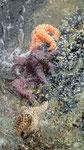 Tellergrosse und überaus bunte Seesterne