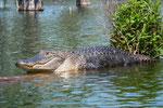 Die mächtigen und gut genährten amerikanischen Alligatoren leben . . .