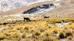 Alpakas sind die Rinder hier!