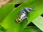Ranitomeya imitator ruft sein Weibchen