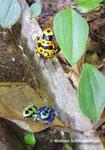Nachzuchten: D. tinctorius ´azureus´, D. auratus (grün) und D. leucomelas (gelb)