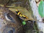 Dendrobates leucomelas (Jungtere)