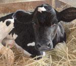 「みつめる子牛」 2012 アクリル