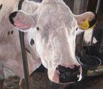 「牛舎の白い牛」 2013 アクリル