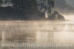 Cygne dans la brume - tirage brillant contrecollé sur Alu - 90 x 60 cm - 159 euros TTC