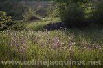 Ancolies - tirage brillant contrecollé sur Alu - Format 75 x 50 cm - Exemplaire 1/30 Vendu