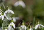 L'abeille et le perce-neige - tirage brillant contrecollé sur Alu - 20 x 30 cm - 39 euros TTC