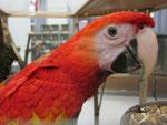 Kopfstudie 1,0 Roter Ara (Jungvogel 5 Monate)